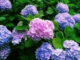 紫陽花B.jpg